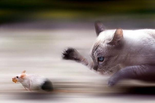 A cat is rushing a mouse