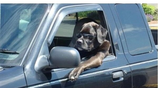 A picture of a dog wearing shades riding a pick-up truck