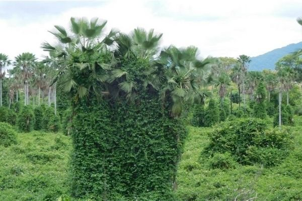 A picture of the carnauba palm in Brazil