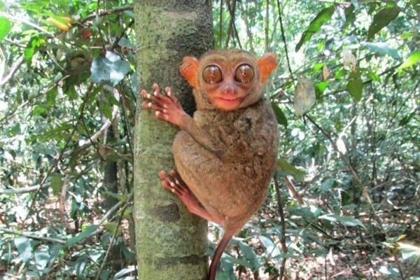 A picture of a Philippine Tarsier.