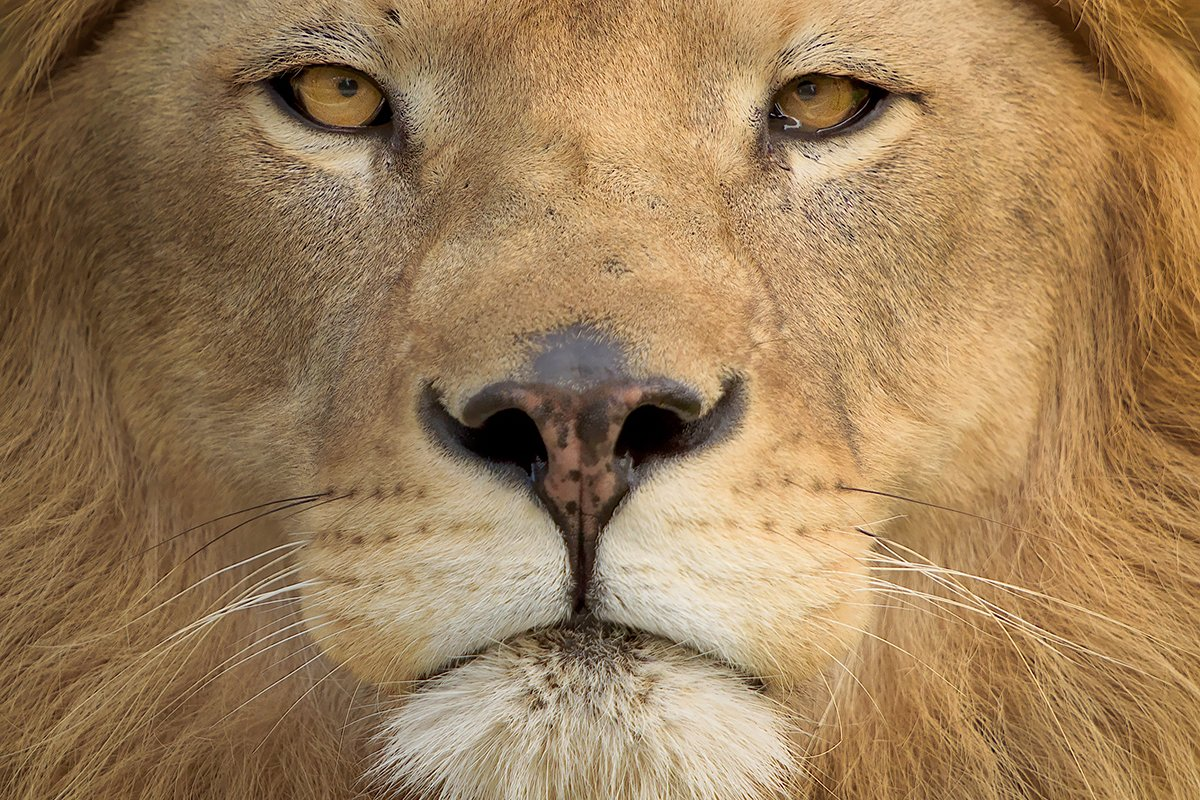 A picture of a Lion's face