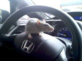 Useful tips on keeping mice and rodents out of your cars